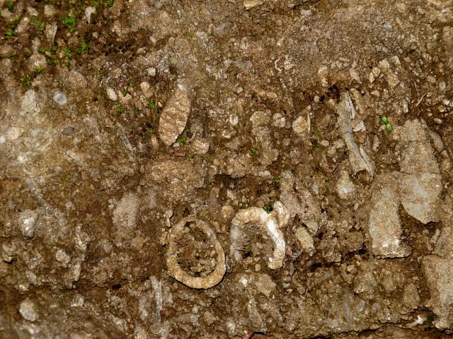 Figure 3: Bioclastic crinoidal Ecton Limestone